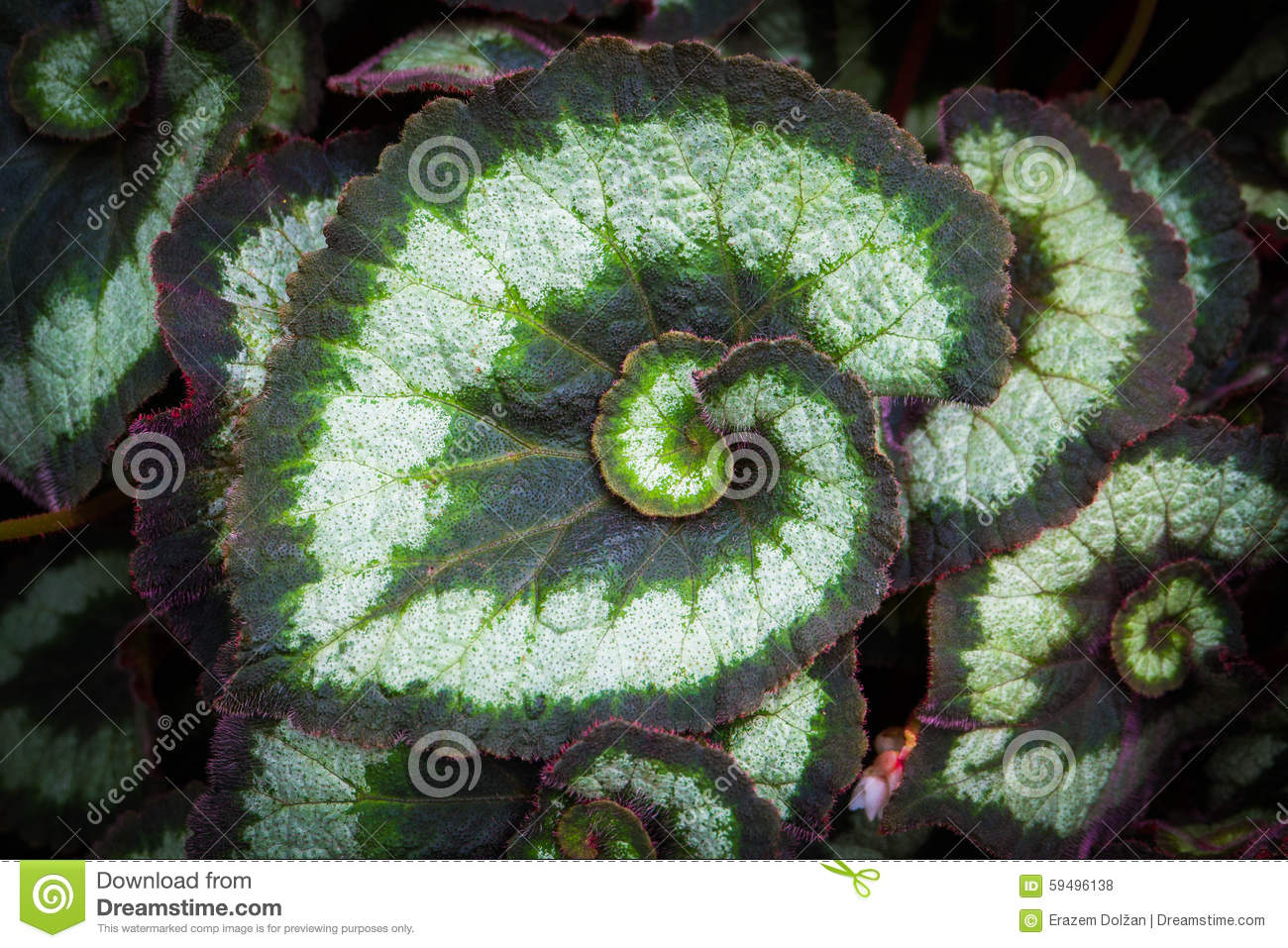 Spiral Leaf Of The Begonia Plant Stock Photo.