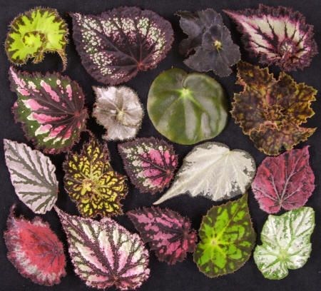 1000+ images about Begonias on Pinterest.
