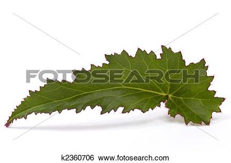 Stock Images of begonia leaf k2360706.