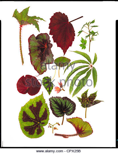 Begonia Leaf Stock Photos & Begonia Leaf Stock Images.