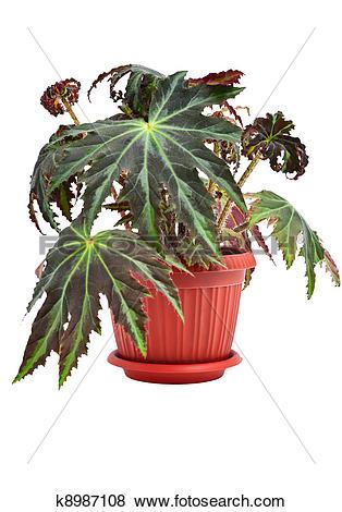 """Pictures of Indoor plant """"Begonia"""" k8987108."""