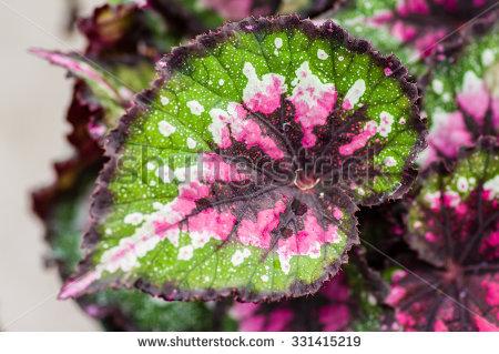 Begonia Stock Photos, Royalty.