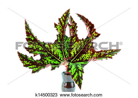 Stock Photo of The leaves of the plant, Scientific name: Begonia.