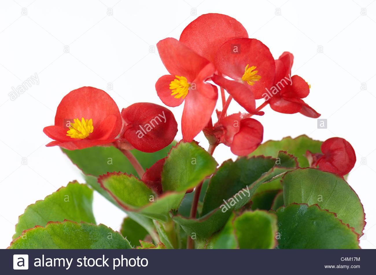 White Begonia Stock Photos & White Begonia Stock Images.