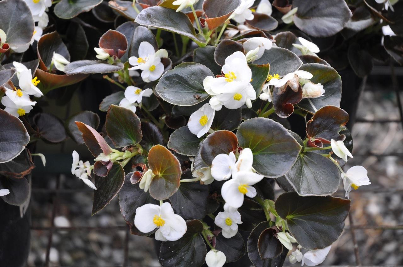 Begonia Semperflorens White.