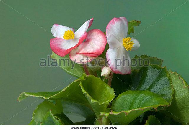 White Begonia Flower Stock Photos & White Begonia Flower Stock.
