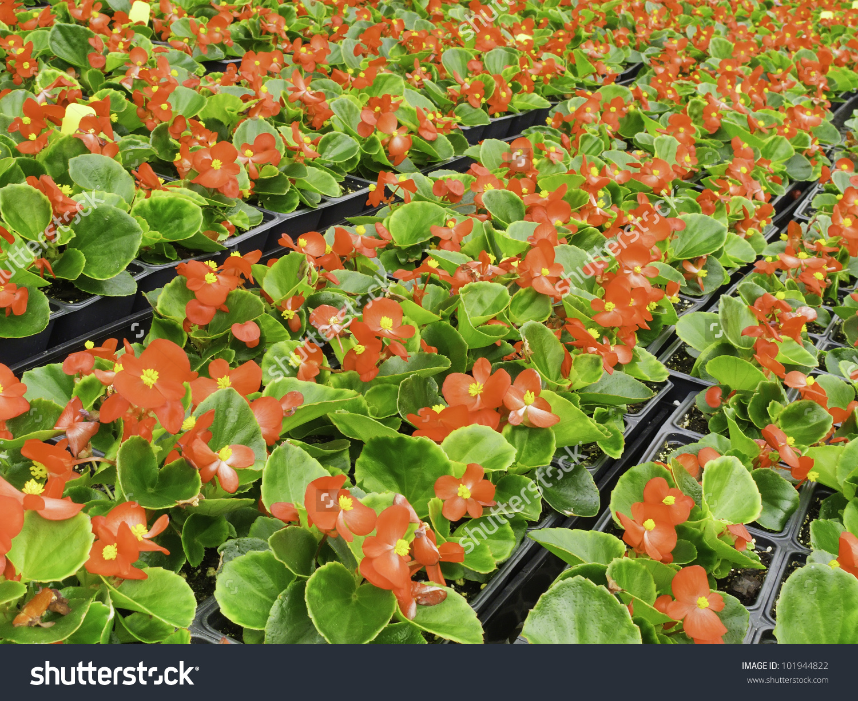 Many Boxes Of Red Begonias (Botanical Name: Begonia X.