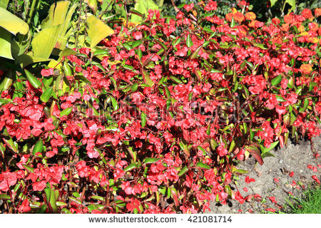 "begonia Semperflorens"" Stock Photos, Royalty."