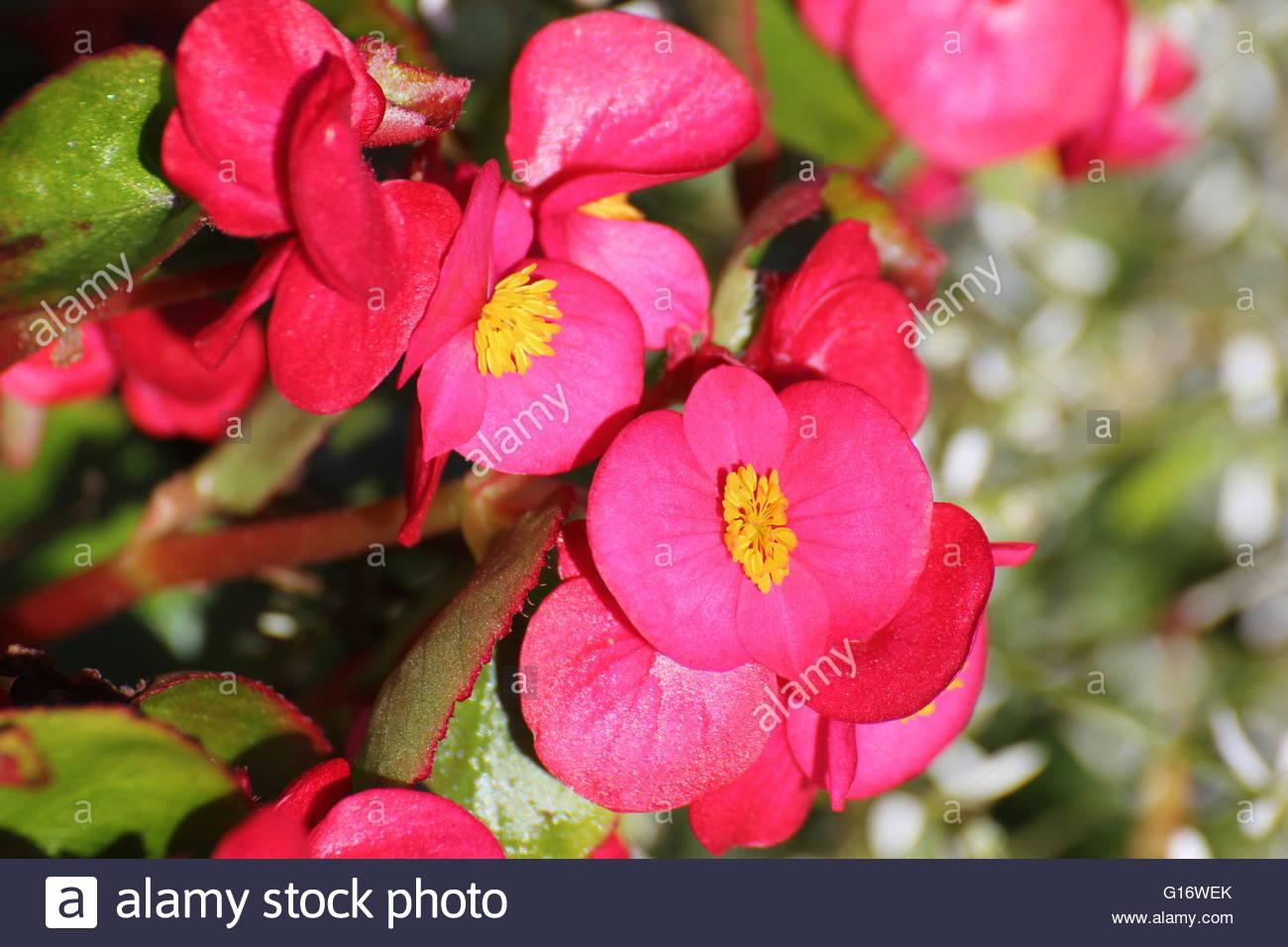 Blossoms Of Ornamental Begonia X Semperflorens.