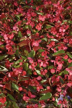 Begonia semperflorens.