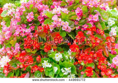 Begonia Semperflorens Stock Photos, Royalty.