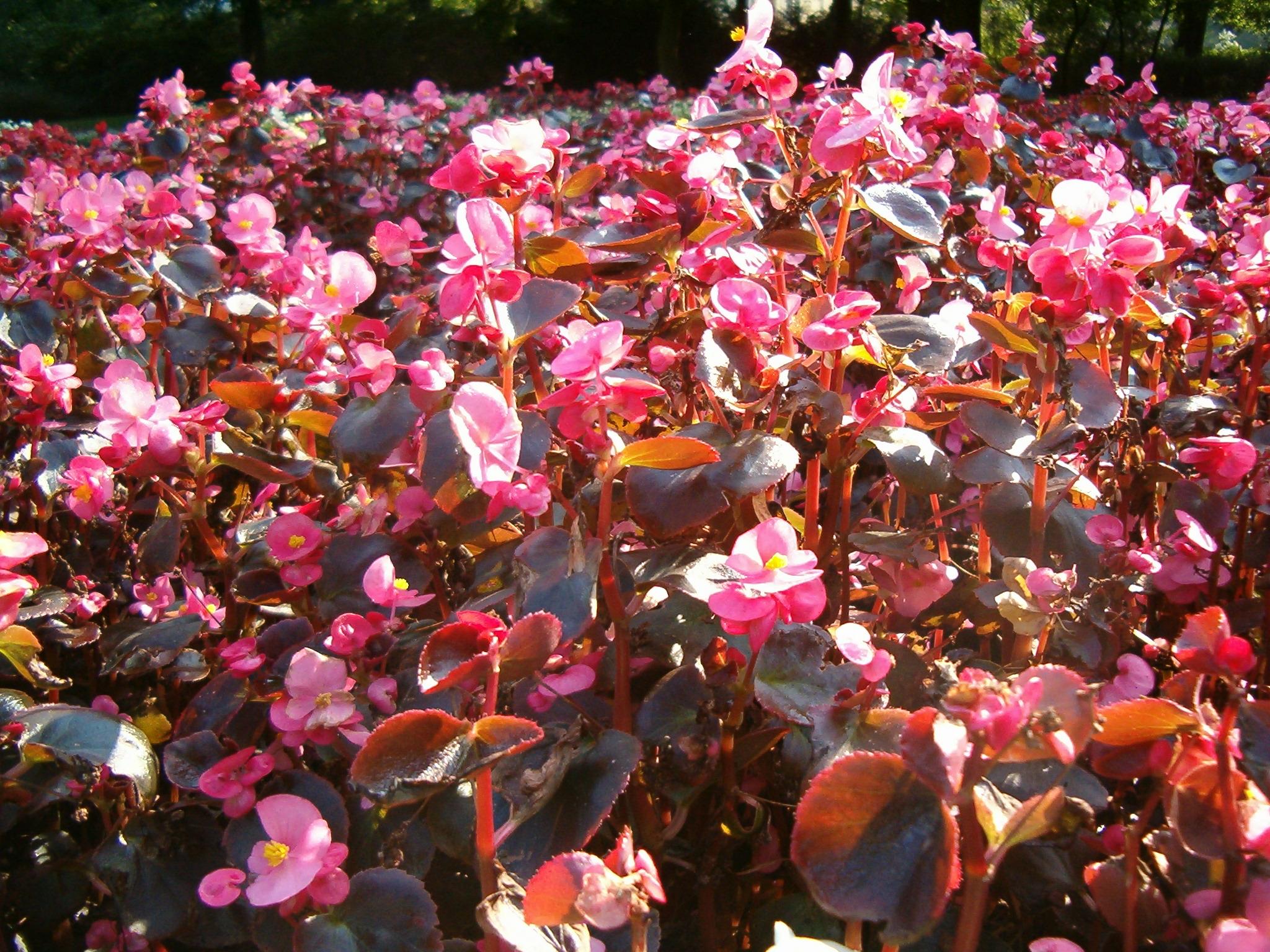 File:Begonia Semperflorens Hybrids 1005Pink.JPG.