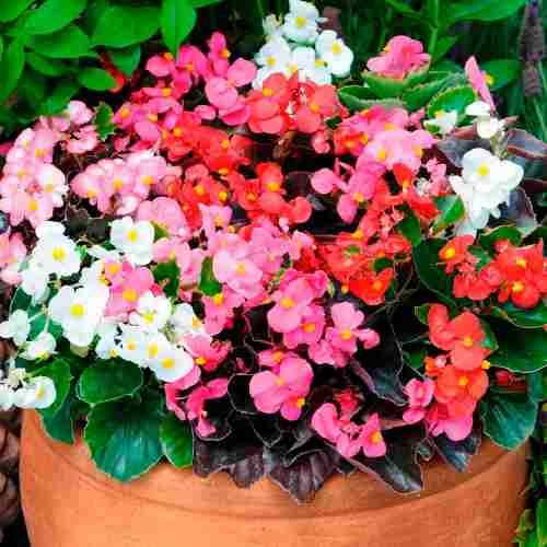 1000+ ideas about Flor Begonia on Pinterest.