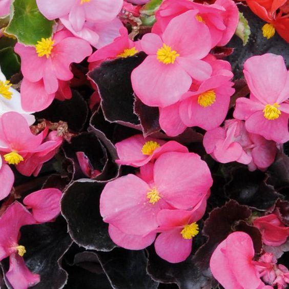 Begonia semperflorens 'Organdy Pink' F1 Hybrid.