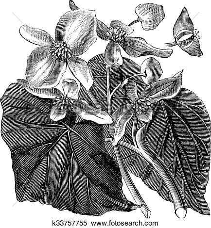 Clipart of Begonia or Begoniaceae flower, vintage engraving.