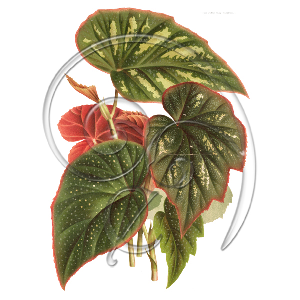 Begonia Clip Art Related Keywords & Suggestions.