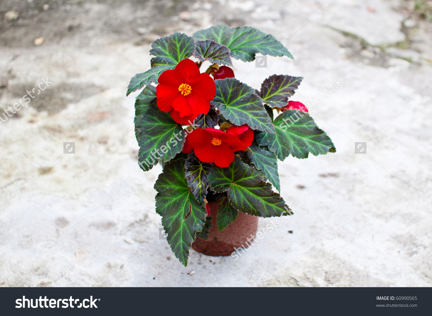 Delicate Red Begonia (Begoniaceae) Flower In A Planting Pot Stock.