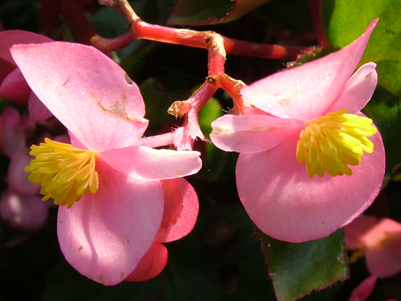 1000+ images about Begonia on Pinterest.