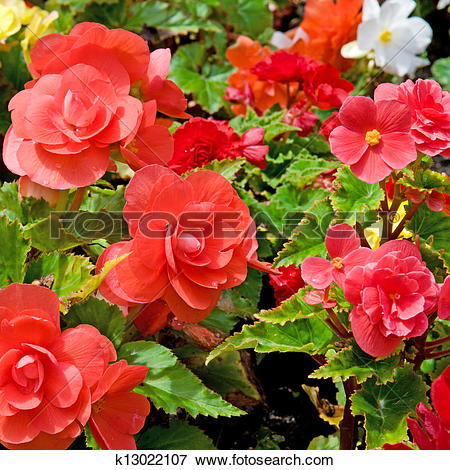 Picture of beautiful background of flowers begonias k13022107.