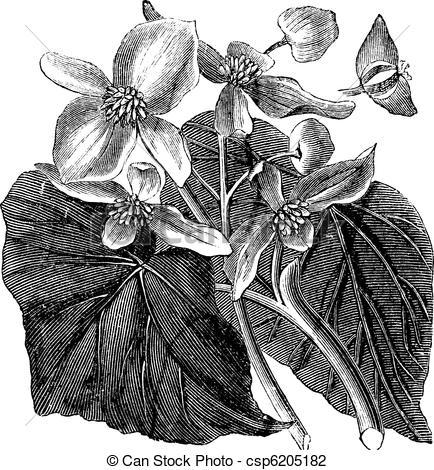 Begonia Illustrations and Stock Art. 105 Begonia illustration.