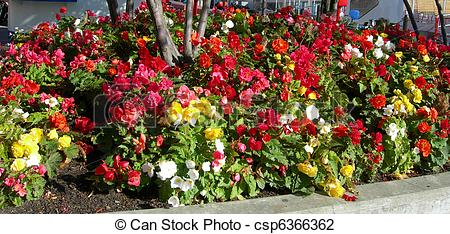 Begonia Stock Photos and Images. 1,574 Begonia pictures and.
