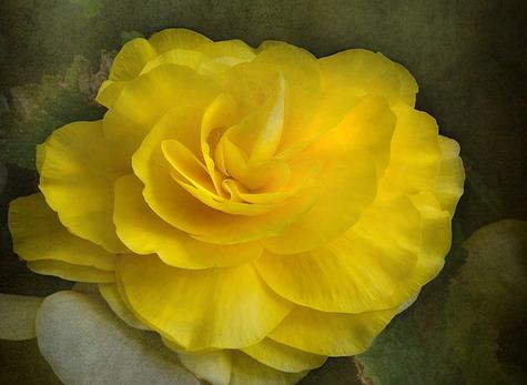 clipartflowersbegonia.