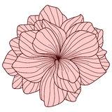 Begonia Stock Illustrations.
