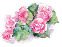 Begonia Flower Stock Illustrations.