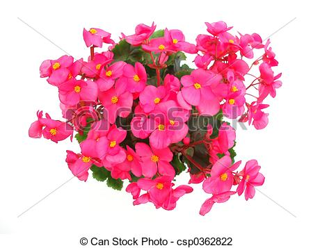 Begonia clipart.
