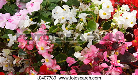 Stock Photograph of begonias k0407789.