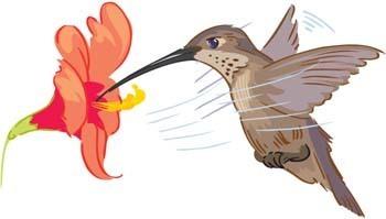 Beija Flor Clip Art Baixar 6 clip arts (Página 1 ).