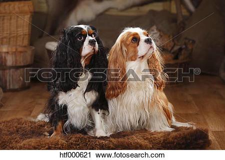 Stock Photography of Cavalier King Charles Spaniel, pair, blenheim.
