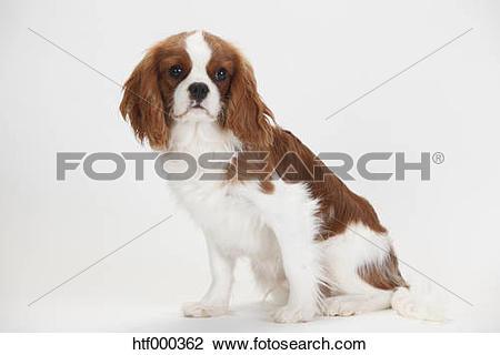 Stock Photo of Cavalier King Charles Spaniel, blenheim, male.