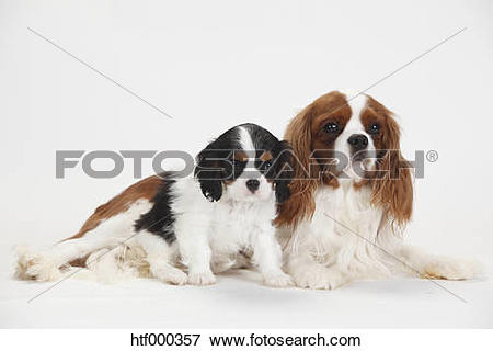 Picture of Cavalier King Charles Spaniel, male and puppy, blenheim.