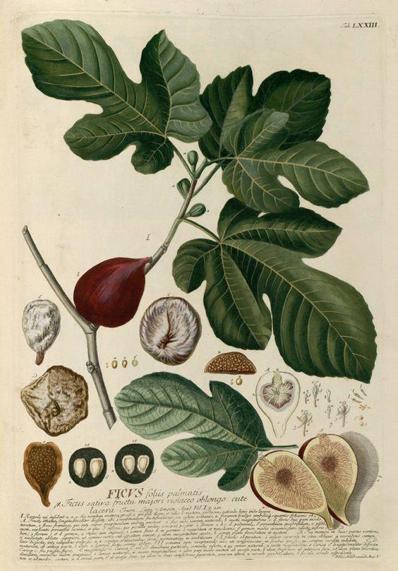 Ficus carica L. (edible fig), Trew, C.J., Plantae selectae quarum.