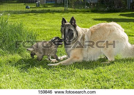 Stock Images of Belgian Shepherd dog (Tervuren) and puppy on.