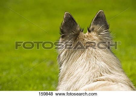 Pictures of Belgian Shepherd dog (Tervuren).