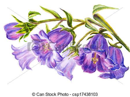 Bellflower Illustrations and Clip Art. 439 Bellflower royalty free.