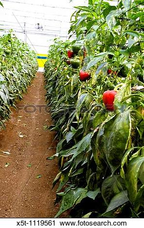 Stock Photography of Israel, Jordan Valley, Doshan Farm, Organic.