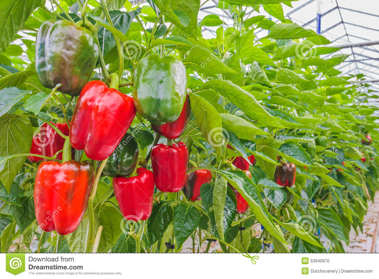 Red Bell Peppers In A Greenhouse Stock Photo.