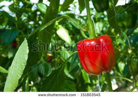 Pepper Greenhouse Inside Plants Stock Photos, Royalty.