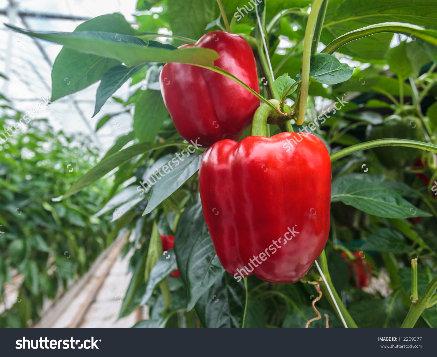 Two Ripe Red Bell Peppers In A Greenhouse Stock Photo 112209377.