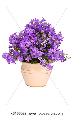Pictures of Campanula bell flowers k6166028.