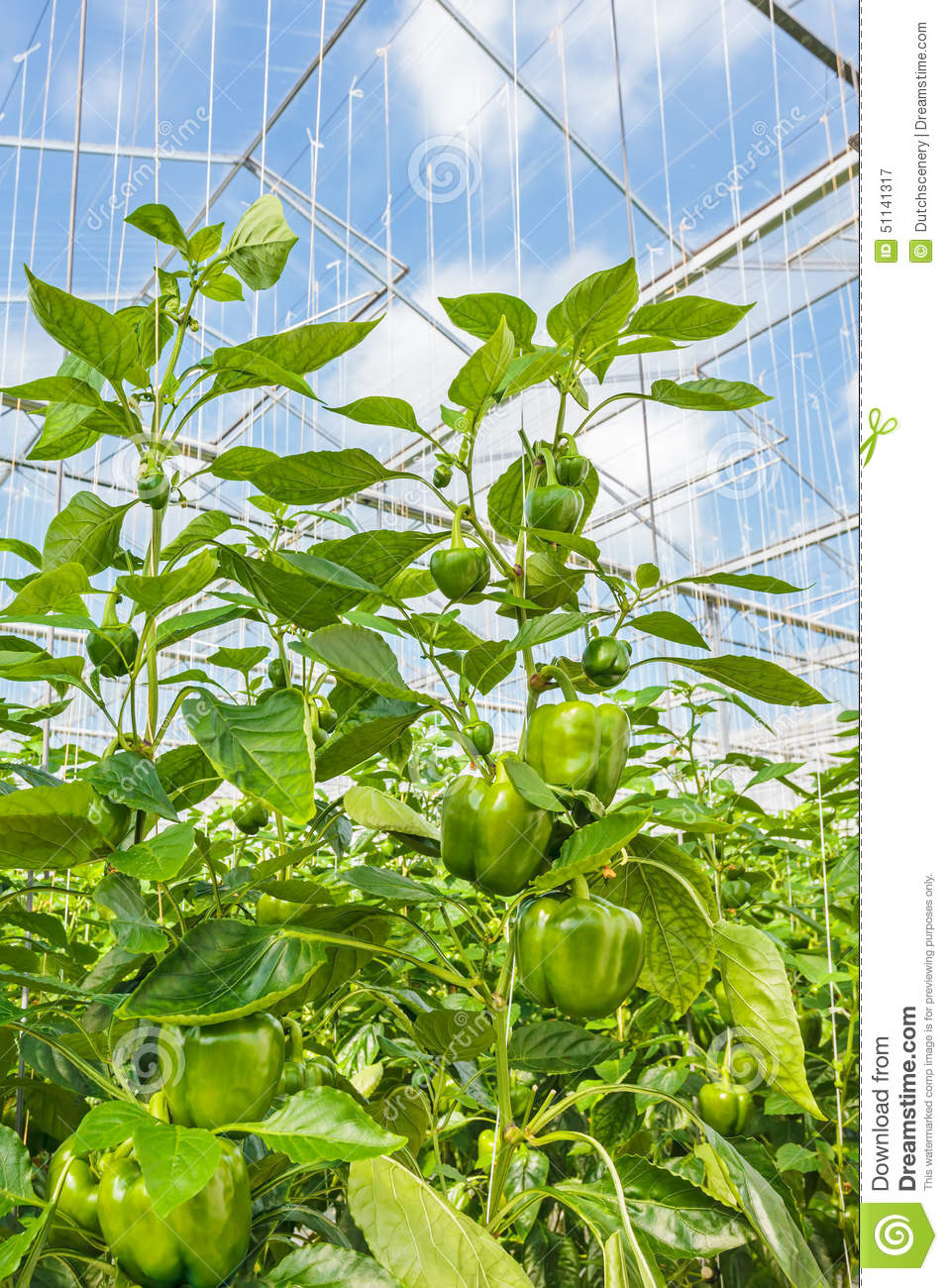 Green Bell Peppers Growing Inside A Greenhouse Stock Photo.