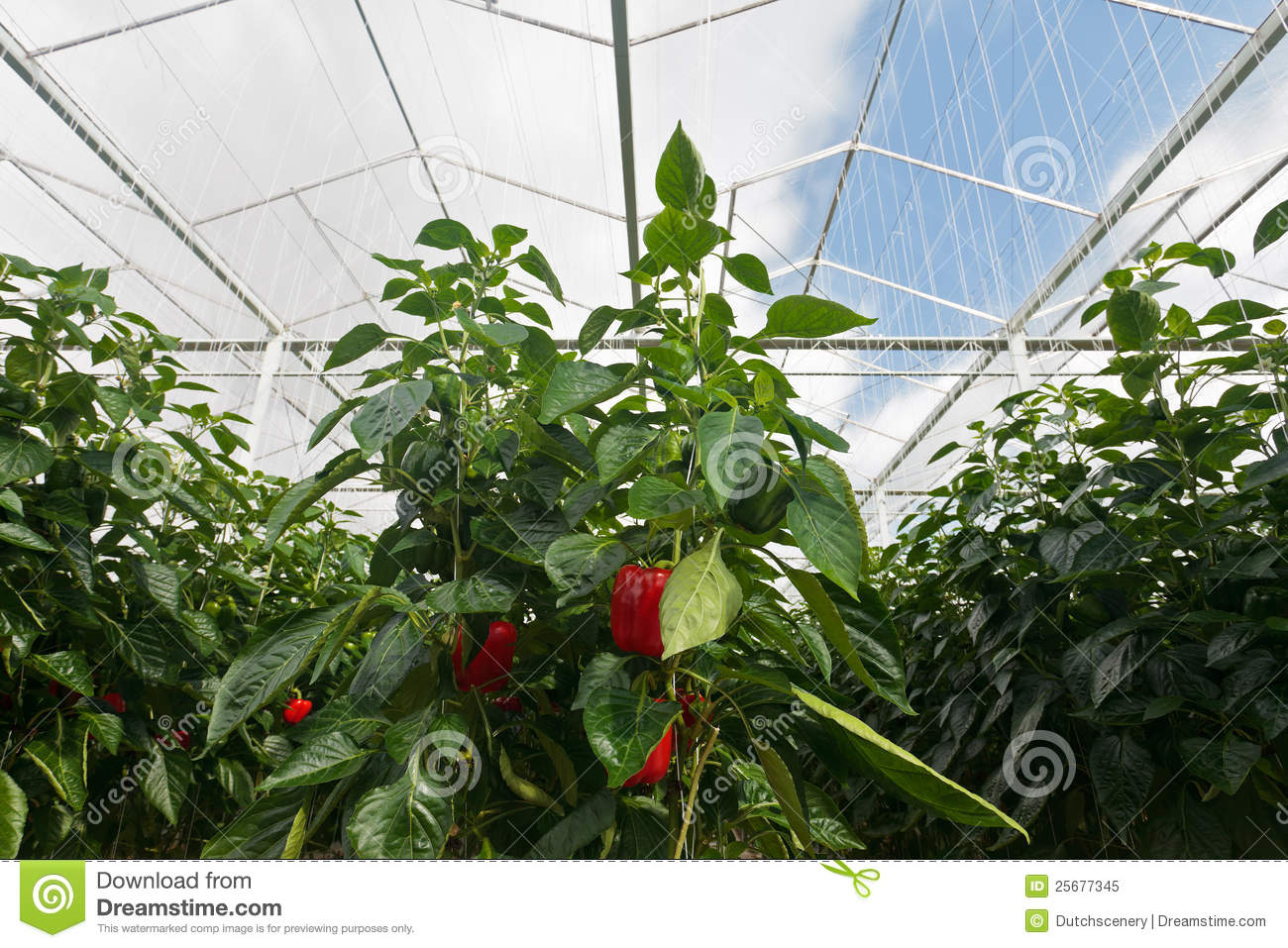 Red Bell Peppers Growing Inside A Greenhouse Royalty Free Stock.