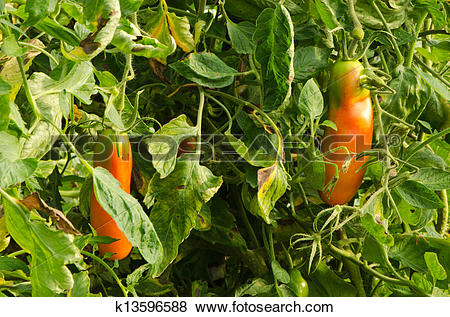 Pictures of green raw red ripe oblong tomatoes greenhouse.