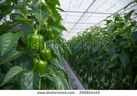 Greenhouse Peppers Stock Photos, Royalty.