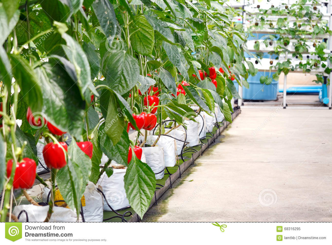Soilless Bell Pepper Culture Stock Photo.