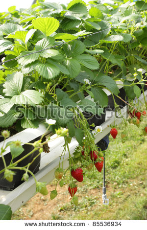 Strawberry Greenhouse Stock Photos, Royalty.