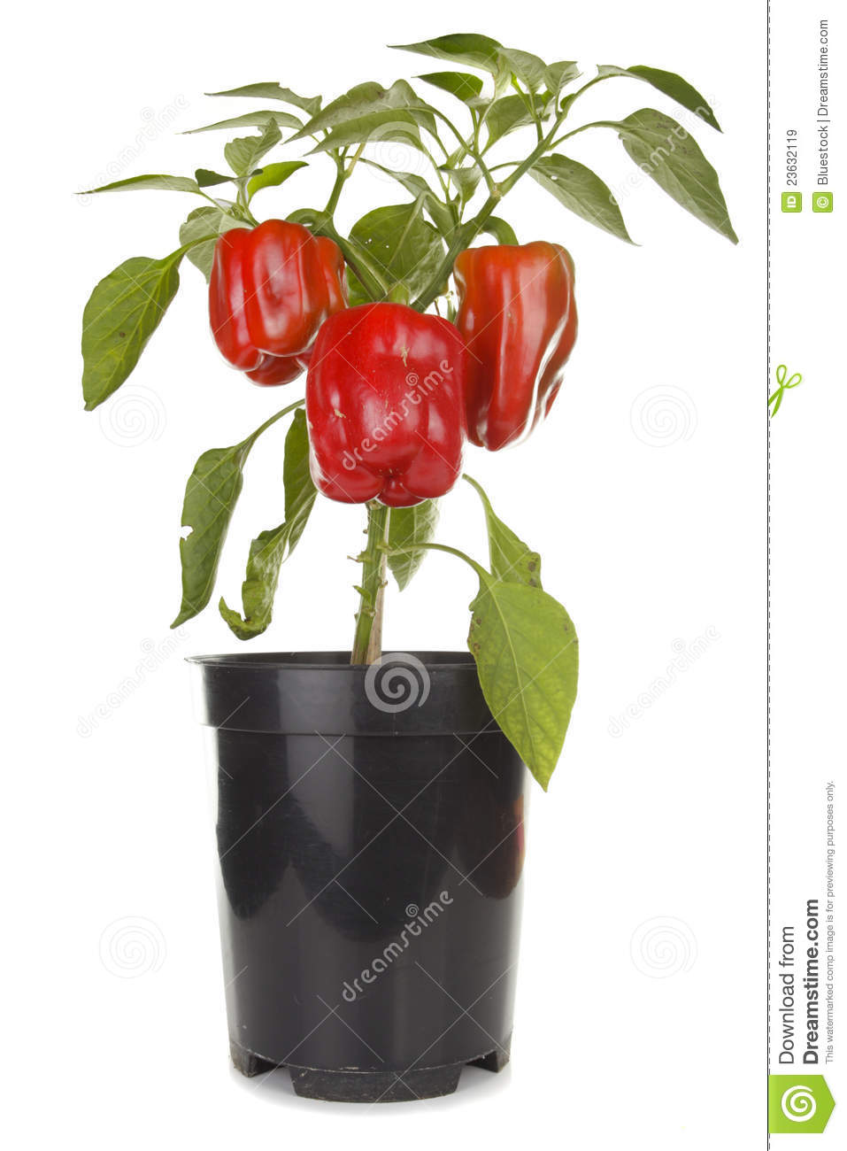 Red Peppers Plant Royalty Free Stock Images.